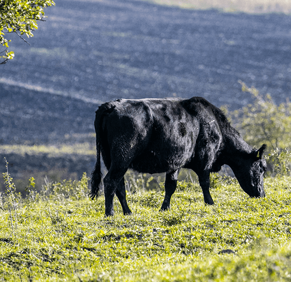 aberdeen-angus-ferma-de-vaci-bullstar-rase-vaci