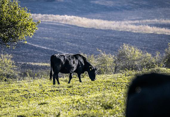 ferma-de-vaci-angus-bullstar-poveste-iasi